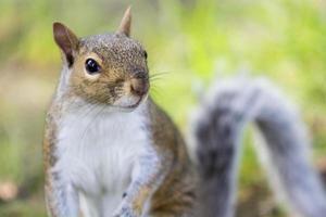 Retrato de una ardilla en pasto foto