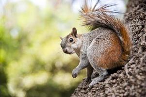 Squirrel looking