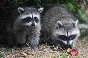 Wild raccoons. photo