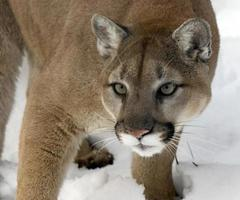 Sharp Eyes Of The Cougar