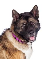 Closeup Of Brown And Black Akita