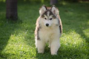 Lindo perrito husky siberiano jugando en la hierba verde