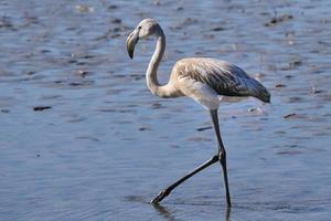 juvenile greater flamingo hunting in shallow water