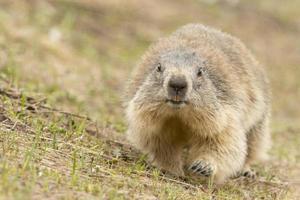 retrato de marmota