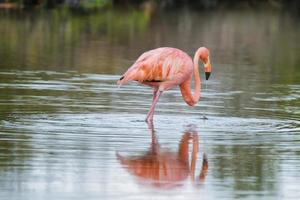 Pink greater flamingo in Galapagos islands