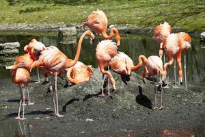 flamingo do caribe