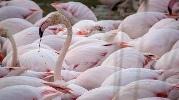 Flamant rose en groupe