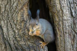 the squirrel sits in a hollow