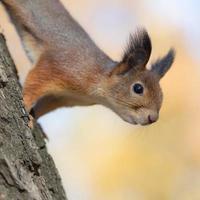 portrait of squirrel closeup