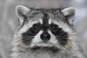Macro portrait of a raccoon.