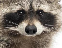 close-up van een wasbeer, Procyon iotor, geïsoleerd op wit