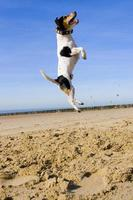 Jumping Jack Russell photo