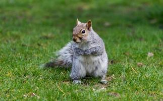 Cute grey squirrel standing on grass in a park