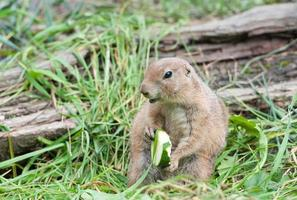 black tailed prairie dog eating a zucchini