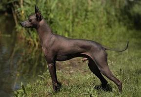 perro sin pelo peruano, chien noble sagan, peruano naakthond, naakthond
