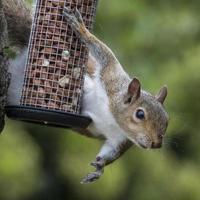 graues Eichhörnchen beim Stehlen von Vogelnüssen erwischt