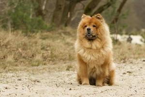 Brown Chowchow