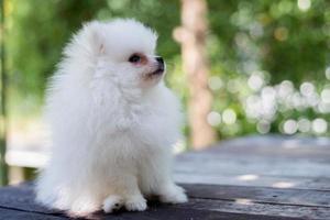 pequeño perro pomerania blanco foto