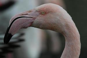 cabeça de flamingo.