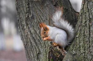 Eurasian red squirrel sitting on a tree branch