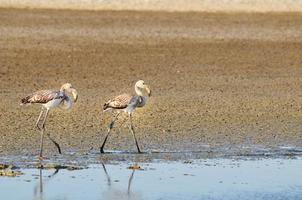 twee jonge grotere flamingo's lopen