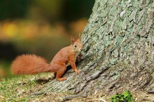 Brown squirrel on tree.