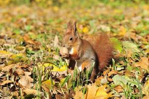 . Squirrel - a rodent of the squirrel family.