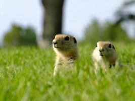 Young Gophers