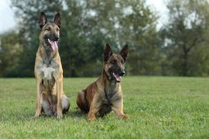 Malinois Shepherd dogs