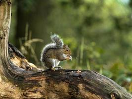 Juvenile Grey Squirrel (Sciurus carolinensis)