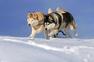 Two husky dogs running in the snow photo