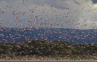 Gran grupo de flamencos en el lago Oleden, Kenia foto