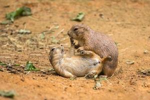 Adult prairie dogs play fighting