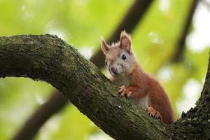 The red squirrel in a forest.