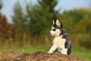 baby husky sitting on the dry grass
