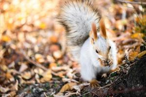 Grey squirrel eat seed in autumn forest photo