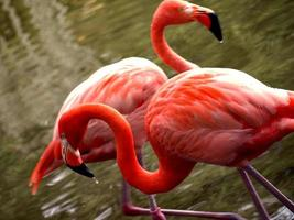 flamingos do caribe