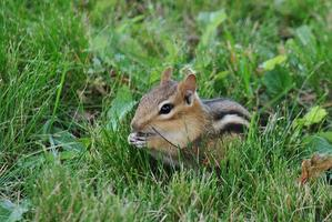 Snacking Chippy - Chipmunk Feeding