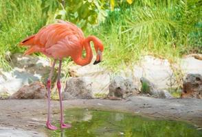 flamenco rosa. foto