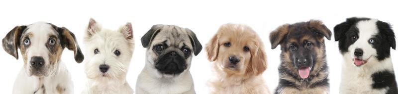 Row of different puppies, dogs
