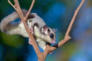 sugar glider on dry branche