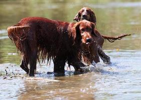 Deux colons irlandais rouges debout dans l'eau