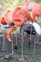 flamingos dormindo