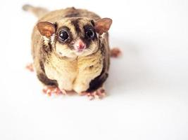 Obesity or Fat of Sugar glider isolated on white background.
