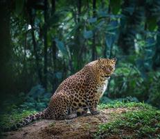Pregnant jaguar female in a forest looks at camera