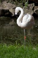 Chilean flamingo in a small pond which stand