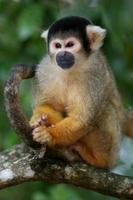 Squirrel Monkey in Tree