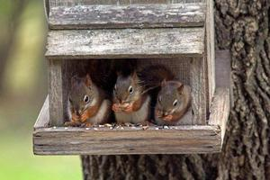 Three juvenile red squirrels on perch