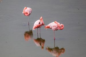 Greater Flamingos in the water at Galapagos Islands