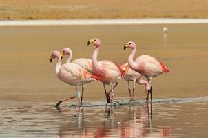 flamingos na lagoa de canapa.